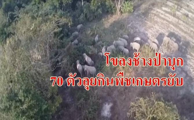 หิวโซ !! โขลงช้างป่า 70 ตัวบุกกินมันสำปะหลังชาวบ้านเสียหายยับ (ดูคลิป)